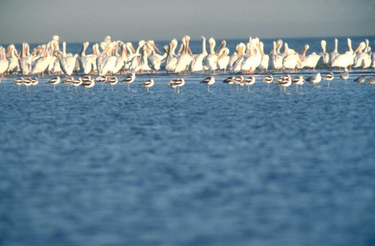 Weiße Pelikane in Lake Charles